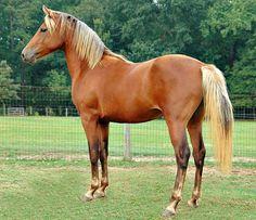 Morgan stallion, Unconventional. Bay silver dapple.