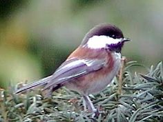 Chestnut-backed Chickadee  - Chestnut-backed Chickadees were originally only in the Pacific Northwest. For unknown reasons, they are continuing to expand their territory eastward. Because they do not migrate, we have them in our area all year.