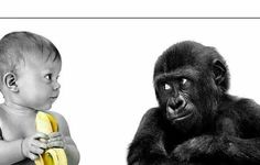 Poster – Baby Chimp & Baby with a Banana (Picture Print Funny Animal Art) Funny Animal Photos, Funny Images, Funny Animals, Funny Pictures, Animals Photos, Funny Videos, Banana Picture, Baby Gorillas, Gb Bilder