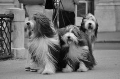 Bearded Collies, Salzburg by Tania**, via Flickr Pined by http://Barkingstud.com