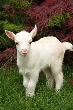 Miniature Goats as Pets | Nigerian Dwarf Goat Kids some ...