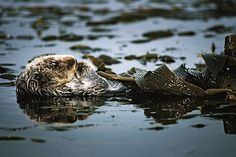 Another Reason to Save Sea Otters: They're Helping Fight Climate Change | TakePart