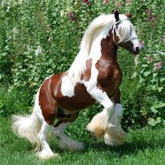 breeds of horses have a history, whether it be ancient or modern and the Gypsy Horse is no different. He is known across the world by many different names. Gypsy Horse, Gypsy Cob, Gypsy Vanner, Irish Cob and Tinker Big Horses, Horses And Dogs, Horses For Sale, Horse Love, Beautiful Creatures, Animals Beautiful, Cute Animals, Most Beautiful Horses, All The Pretty Horses