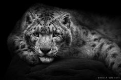 """500px / Photo """"THE SNOW LEOPARD"""" by Wolf Ademeit"""