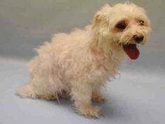 Manhattan Center BAMBI – A1085699  MALE, WHITE, MALTESE MIX, 5 yrs STRAY – STRAY WAIT, HOLD FOR ID Reason STRAY Intake condition EXAM REQ Intake Date 08/16/2016, From NY 10458, DueOut Date08/19/2016,