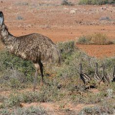 Emu Birdsville Track South Australia