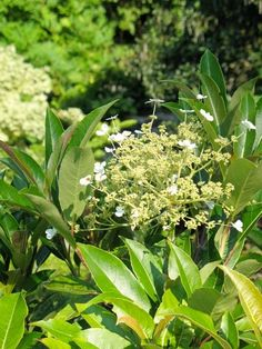 Taiping Shan Evergreen Climbing Hydrangea - Monrovia - Taiping Shan Evergreen Climbing Hydrangea