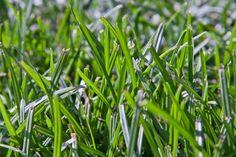 How To Use Dawn To Spray Yard To Kill Fleas Lawn Sprays