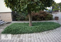 Juniperus horizontalis - amerikansk kryp-en