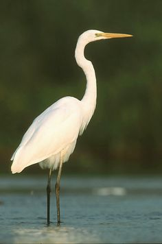 Egret.... one of my favorite birds.. I see them often in my neck of the woods, and they are awesome.