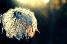 A cross processed picture of a clematis seed head Copyright: Jawad Qasrawi