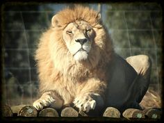 Drakenstein Lion Park. Fabulous sanctuary for former circus / zoo  animals. Feeding time is very entertaining.