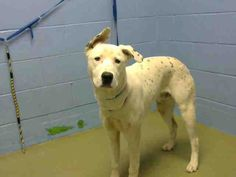 ID#A445756  I am described as a male, white and black Dalmatian.  The shelter thinks I am about 1 year.  I have been at the shelter since Feb 10, 2015 and I may be available for adoption on Feb 17, 2015 at 9:07AM. If you are interested in me, please visit me before this date.  If you think I am your missing pet, please call or visit right away.