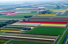 Technicolour fields: Endless rows of colourful fields where farmers grow the national treasure which is the Dutch tulip