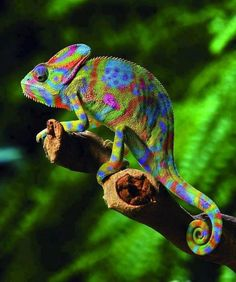 A beautiful rainbow chameleon also known as Veiled chameleon. (Chamaeleo calyptratus)  How cool.