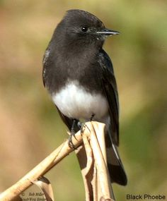 The Black Phoebe (Sayornis nigricans) is a passerine bird in the tyrant-flycatcher family. It breeds from southwest Oregon and California south through Central and South America.