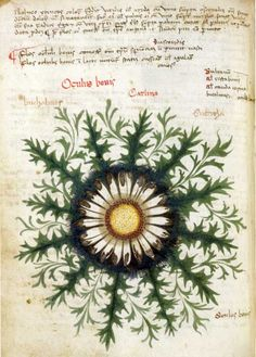Carlina acaulis,  appears in the Belluno Herbal. The Herbal was made in the 15th century.