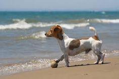 Resultado de imagen para jack russell terrier