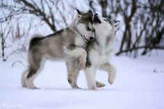 Two wolf pups playing :) they do melt your heart.