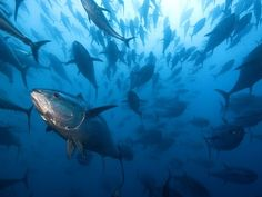 Bluefin tuna 2