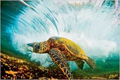 """LANIAKEA, OAHU  """"I've seen turtles take beatings in the shore break. They pull their heads into their shells, get pummeled, and they're fine. Those buggers are hard."""""""