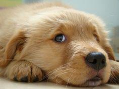 Google Image Result for http://www.goldenretrieverpuppies.us/wp-content/uploads/2011/06/golden-retriever-puppy3.jpg