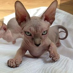 Male and female Sphynx cat name ideas. Search best cat names for your Sphynx. I Love Cats, Crazy Cats, Cool Cats, Chat Sphynx, Hairless Cats, Ragdoll Cats, Animals And Pets, Cute Animals, Sphinx Cat