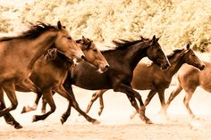 wild horses, Return to Freedom Wild Horse Sanctuary, Lompoc California.  print available.  portion of proceeds to www.returntofreedom.org