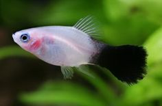 platy types - Bing Images