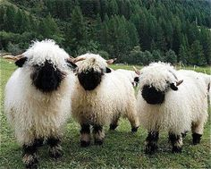 valais blacknose sheep, perhaps the most beautiful sheep breed in the world.
