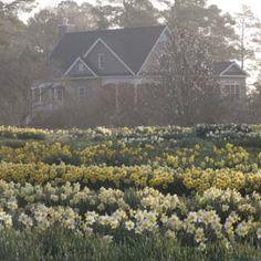 Brent And Becky's Bulbs -Gloucester VA. Gloucester, Spring And Fall, Daffodils, Garden Inspiration, Bulbs, City Photo, Virginia, Seeds, Heaven