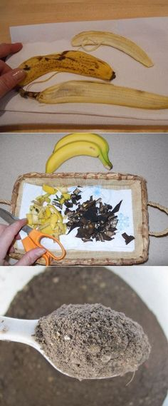 Dried Banana Peels as a Plant Fertilizer ~If you want to treat your roses & other potted plants to an inexpensive free fertilizer, don't toss out those banana peels... their peels are a great source of phosphorus, potassium and other important trace minerals for plants To dry banana peels-Place on paper towels in an open weave basket & allow to dry