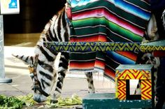Striped burro in Tijuana (the stripes are painted with animal-safe dye) :) #baja #mexico
