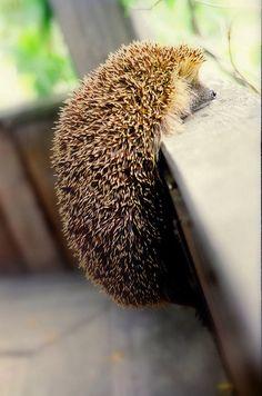 curious hedgehog...