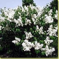 For my garden: Lilac, Mount Baker - white blossoms, fragrant, long blooming seasons, zones 2-7