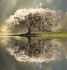 Blossom Tree Reflection. pictur, art, natur, trees, beauti, place, reflect, thing, photographi