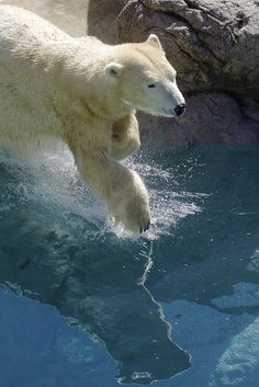 Polar bears are the largest and longest species of bear. Males can measure up…