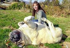 """Zorba, an English mastiff, is the biggest dog ever recorded. He weighed 343 pounds and measured 8' 3"""" from his nose to his tail! http://thepoophappens.com"""