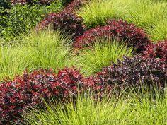 Barberis image-photo-autumn-moor-grass-sesleria-autumnalis-purple-462018.jpg (960×720)