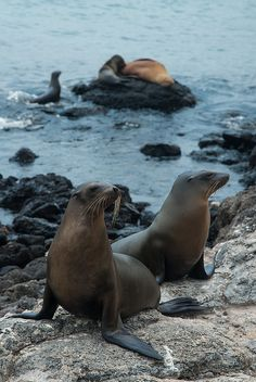 Sea lions in Galapagos / Lobos marinos en Galapagos