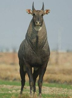 Nilgai, the Blue Bull of India is the largest of all Asian antelopes and is one…