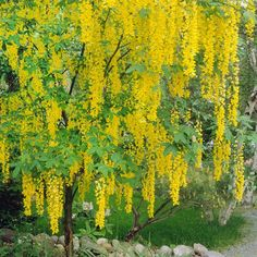 In late spring and summer, this Golden Chain Tree bears beautiful hanging clusters of yellow flowers. More small trees: http://www.bhg.com/gardening/trees-shrubs-vines/trees/popular-small-trees/?socsrc=bhgpin071413goldenchain=8