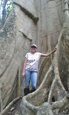 Árvore de 150 anos, em Rive, Alegre-Es. Brasil
