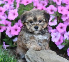 Lancaster Puppies makes it easy to find healthy puppies from reputable dog breeders across Pennsylvania, Ohio, and more. Morkie Puppies, Lancaster Puppies, Puppies For Sale, Cute Dogs, Cute Animals, Pets, Nature, Photography, Pretty Animals