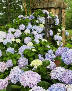 From spring to fall Dear Dolores hydrangeas will put on a show of marvelous blue, or pink blooms accompanied by it's mounding green foliage. Dear Dolores is a great choice for a shady area of your yard, or makes a great container plant on your porch. Smooth Hydrangea, Hydrangea Care, Hydrangea Not Blooming, Hydrangea Flower, Flowers, Pruning Hydrangeas, Types Of Hydrangeas, Hydrangea Varieties, Hydrangea Macrophylla