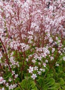 Saxifraga urbiumSaxifraga urbium of Schildersverdriet is een groenblijvende plant met leuke roze bloemen op een lange steel.  De bloemen zijn goed als snijbloem te gebruiken.  De plant is een goede bodembedekker en kan verder goed in de rotstuin staan, in een pot op het (schaduw) terras of als randplant fungeren in de border.