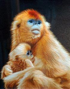 snub nosed Chinese monkey