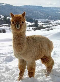 As soft as. an alpaca! - Xxx - As soft as. an alpaca! As soft as. an alpaca! Alpacas, Cute Little Animals, Cute Funny Animals, Cute Animal Photos, Animal Pictures, Fluffy Animals, Animals And Pets, Cute Alpaca, Alpaca Funny