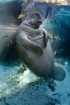 Underwater photographer Carol Grant portfolio specializes in manatee photography. Includes striking, rare and unusual images for stock, prints & assignments Beautiful Sea Creatures, Animals Beautiful, Water Animals, Animals And Pets, Smiling Animals, Saltwater Tank, Saltwater Aquarium, Sea Cow, Underwater Photographer