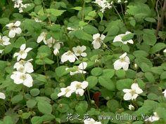 蓬蘽 -   学名:Rubus hirsutus Thunb.